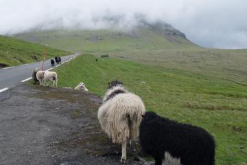 Les moutons sont omniprésents aux Féroé.