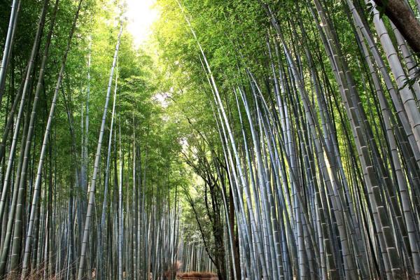 Forêt de bambou | © Aurélie Morin