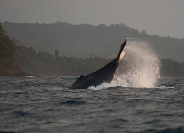 A la recherche d'expériences insolites et inoubliables ? De juillet à septembre, l'eco-lodge chic et tropical Bom Bom Island Resort (Sao Tomé-et-Principe) propose à ses hôtes d'aller observer en mer les majestueuses baleines.